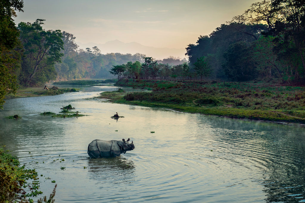 Wild Rhinoceros crosing river at sunrise.